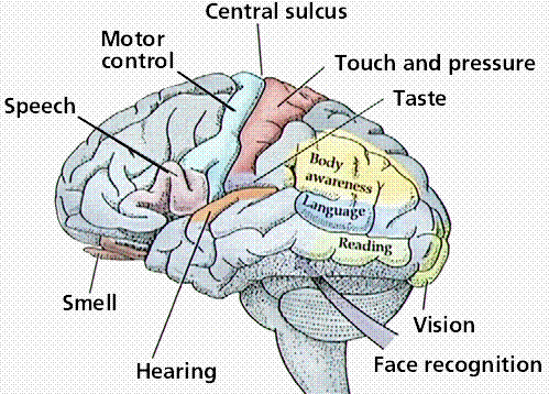 Brain and the 5 Senses